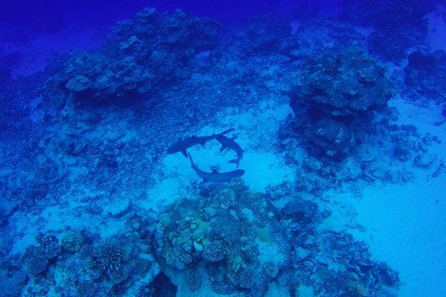 Diving in Rarotonga Cook Islands white tip reef sharks playing