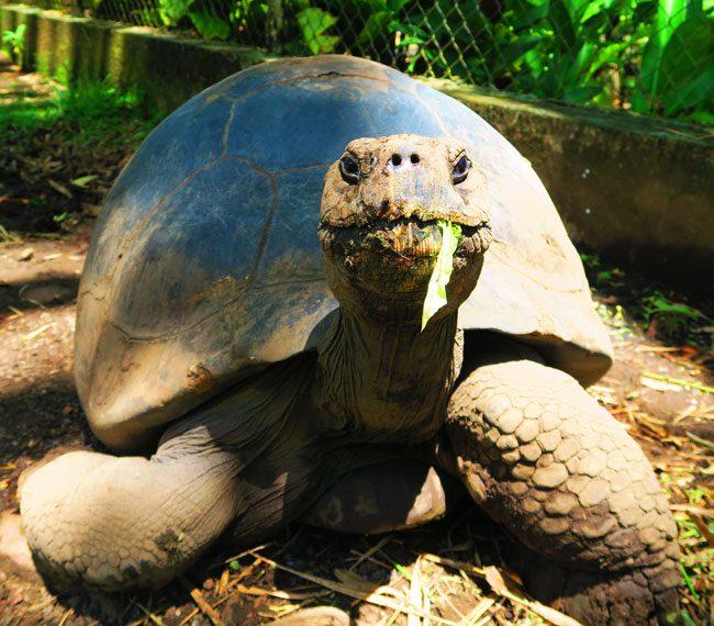 Giant galapagos turtle eating in botanical gardens Tahiti French Polynesia