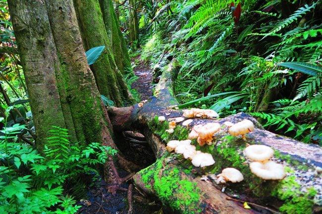 Mushrooms in rainforest Mount Aorai hike Tahiti French Polynesia