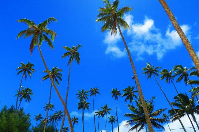 Palm trees growing in Rarotonga Cook Islands