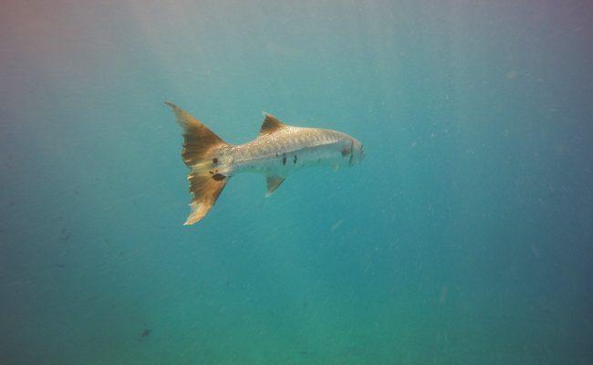 Diving in Moorea huge baracuda
