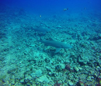 Swimming With Sharks & Stingrays In Moorea