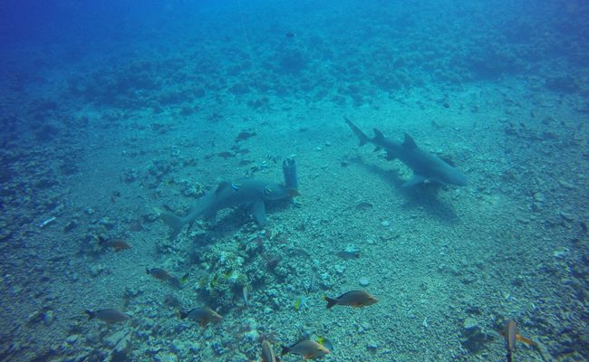 Diving in Moorea two sharks