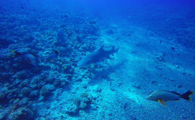Diving in Moorea with lemon shark 2