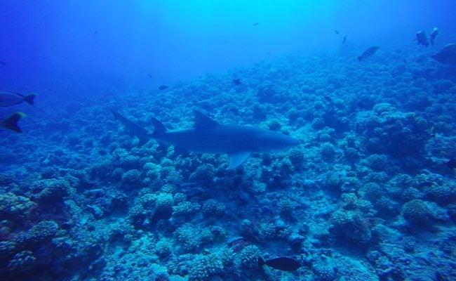 Diving in Moorea with lemon shark