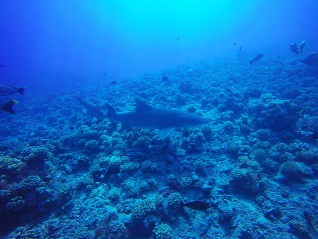 Diving in Moorea with lemon shark