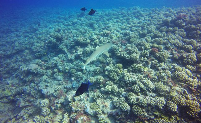 Diving in Moorea with shark