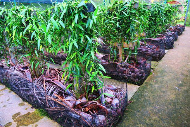 Moorea tropical garden vanilla