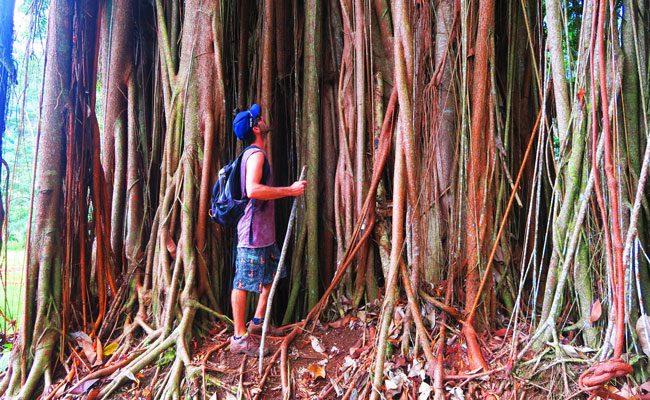 Opunohu Valley hike Moorea French Polynesia large banyan tree