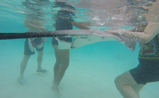 Shark and stingray feeding Moorea