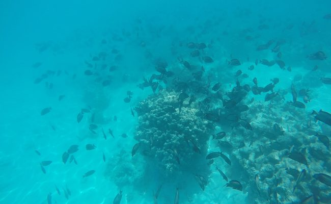 Shark and stingray feeding Moorea black reef fish mating