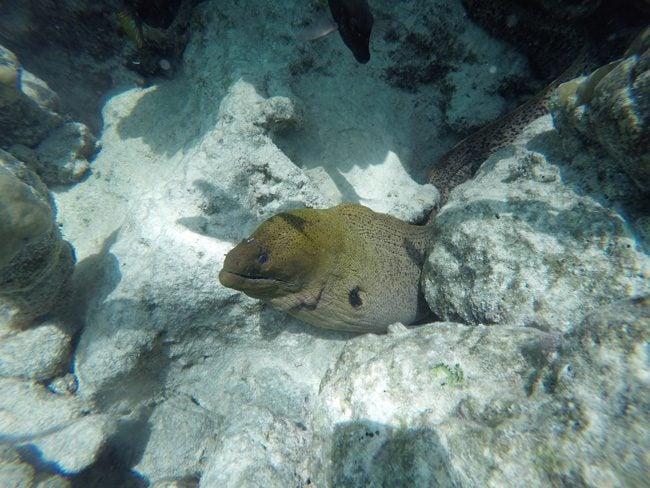 Shark and stingray feeding Moorea moray eel close up