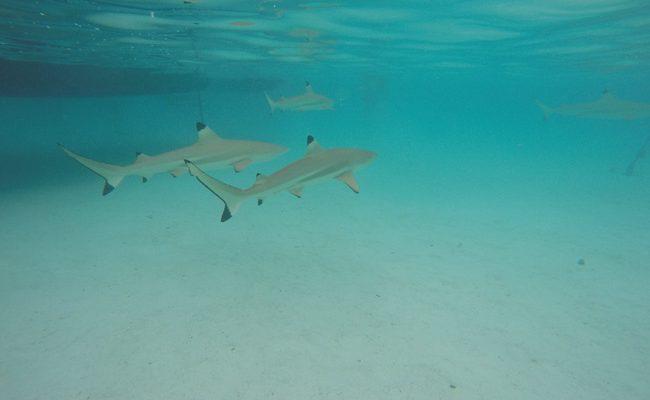 Shark and stingray feeding Moorea reef sharks