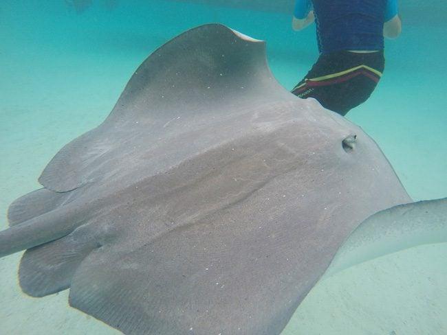 Shark and stingray feeding Moorea stingray up close