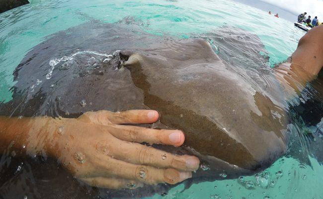 Shark and stingray feeding Moorea touching stingray