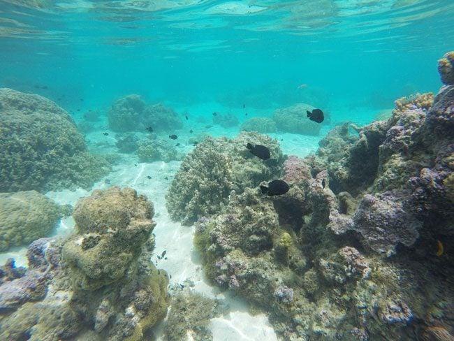 Snorkeling off Temae Beach Moorea French Polynesia 2