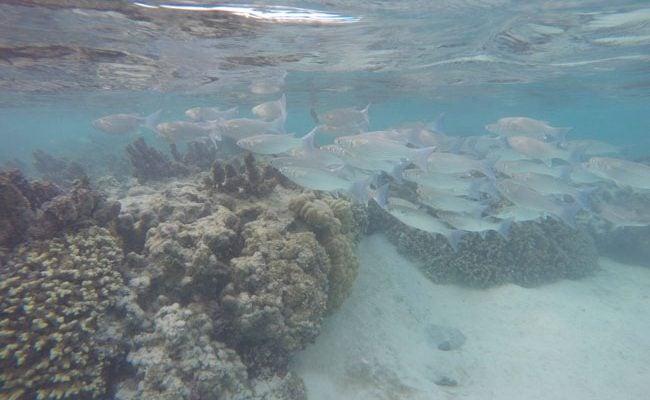 Snorkeling off motu beach Moorea French Polynesia 3