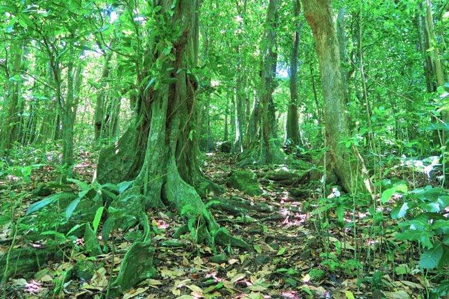 Vaiare to Pao Pao hike Moorea French Polynesia mape forest