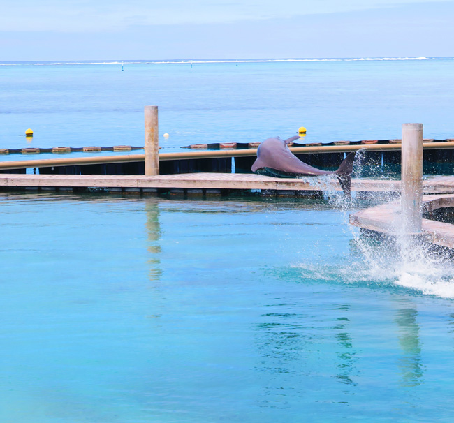 dolphin jumping at Dolphin center Intercontinental Resort Moorea