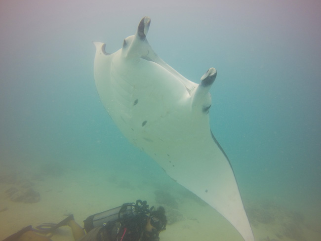 Diving in Maupiti French Polynesia manta rays closeup