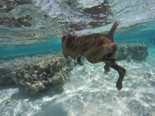 Harley II swimming