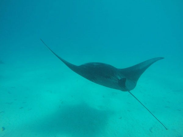 Lagoon tour in Maupiti French Polynesia manta ray swimming away