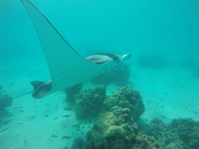 Lagoon tour in Maupiti French Polynesia manta rays swimming by