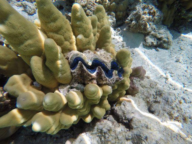 Snorkeling off Motu Auira Maupiti French Polynesia shell