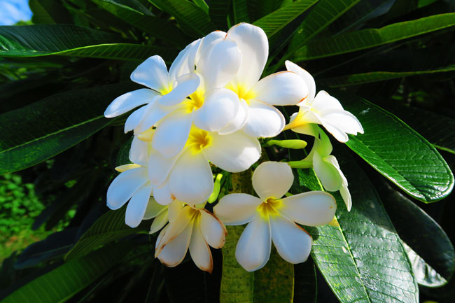 Tiare gardenia flower in Maupiti French Polynesia