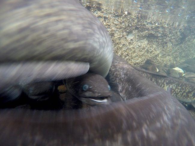 Blue Eyed Eels Huahine Island French Polynesia