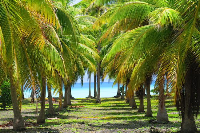 Coconut plantation Fakarava Atoll French Polynesia