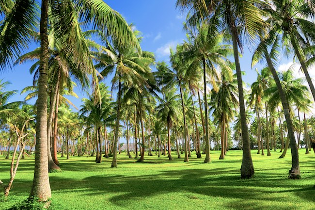 Coconut plantation Huahine Island French Polynesia