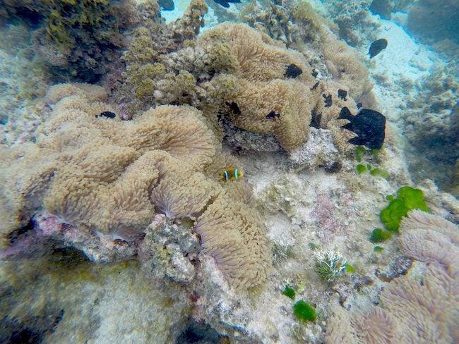 Coral garden Huahine Island French Polynesia