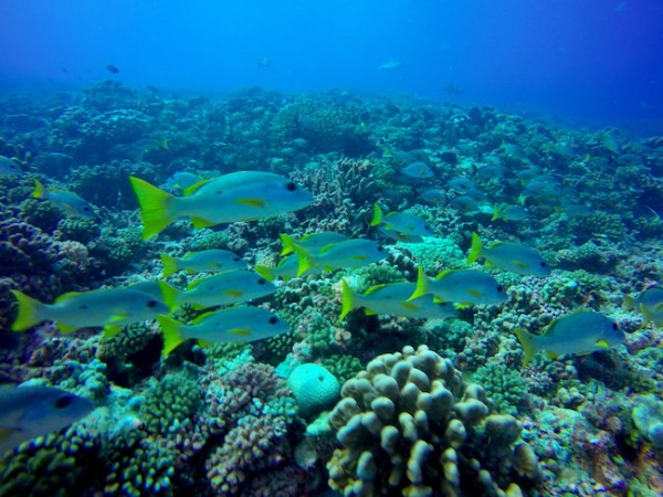 Fakarava French Polynesia  city pictures gallery : Diving Fakarava Atoll French Polynesia North Pass Garuae reef dive | X ...