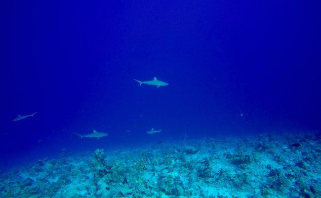 Diving Fakarava Atoll French Polynesia North Pass Garuae shark wall