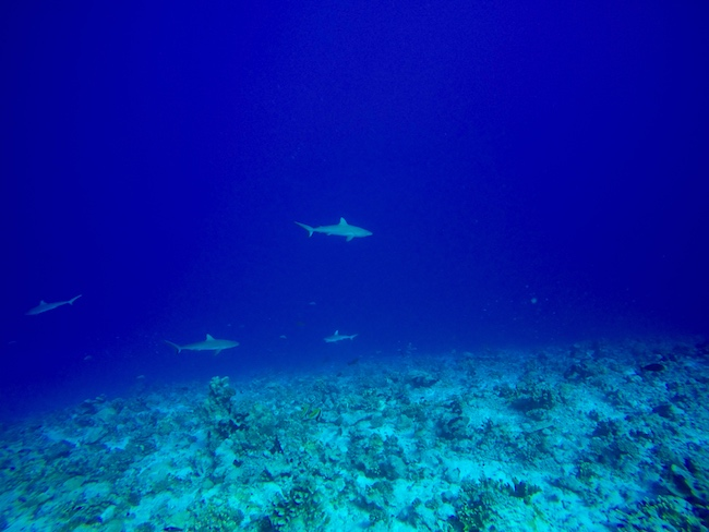 Diving Fakarava Atoll French Polynesia North Pass Garuae shark wall