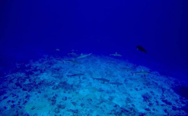 Diving Fakarava Atoll French Polynesia North Pass Garuae wall of sharks