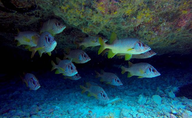 Diving Fakarava Atoll French Polynesia North Pass Garuae Ohotu Cliff fish in cave