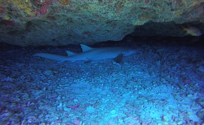 Diving Fakarava Atoll French Polynesia North Pass Garuae Ohotu Cliff nurse shark cave