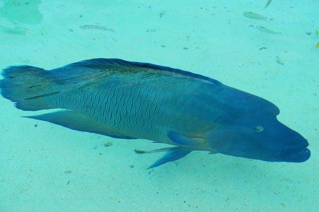 Giant Napoleon fish Tetamanu Village Fakarava Atoll French Polynesia