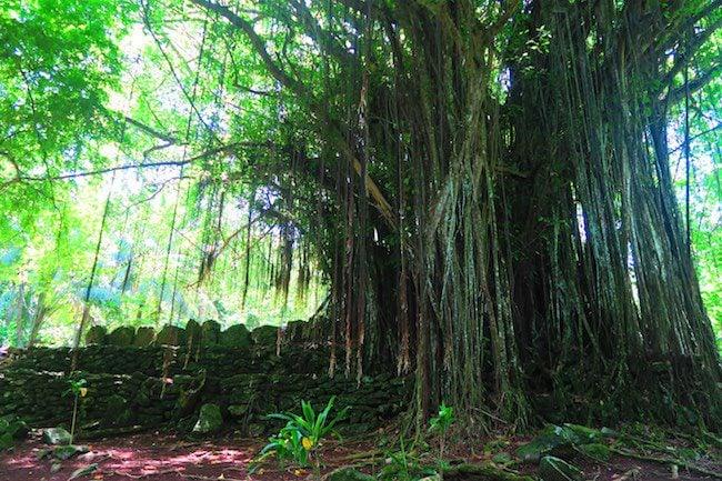 Matariea Hill marae complex Huahine Island French Polynesia banyan tree