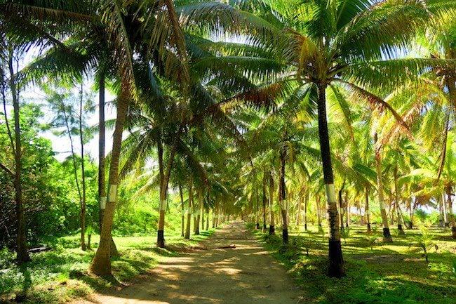 Motu Ovarei Huahine Island French Polynesia plam trees