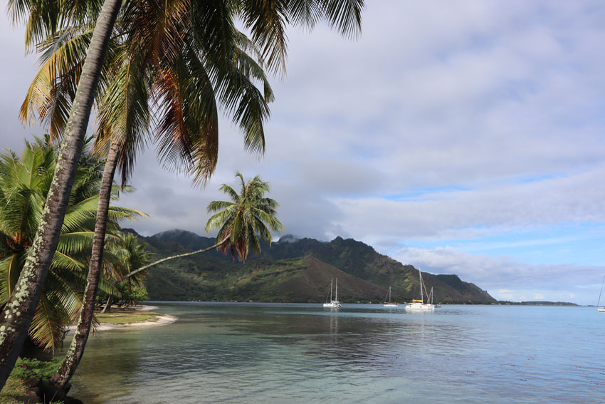 Curved palm tree in Mareto Beach Moorea French Polynesia