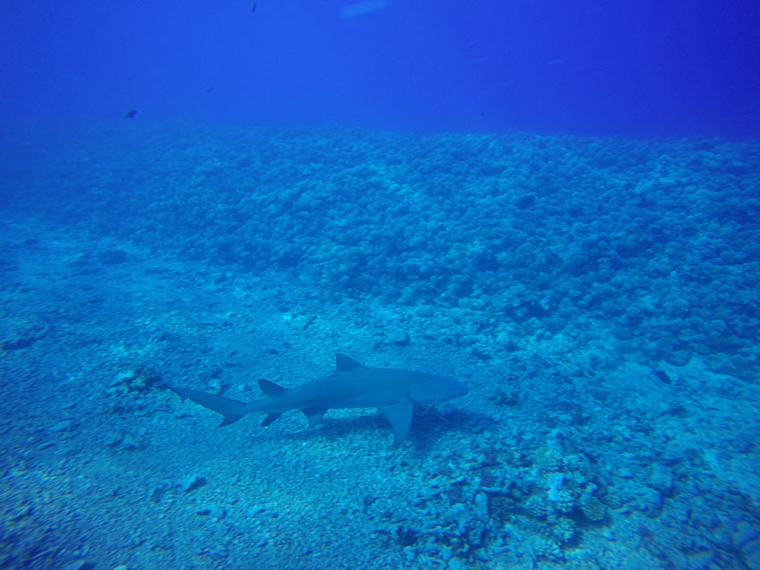 Diving with lemon shark in Moorea French Polynesia
