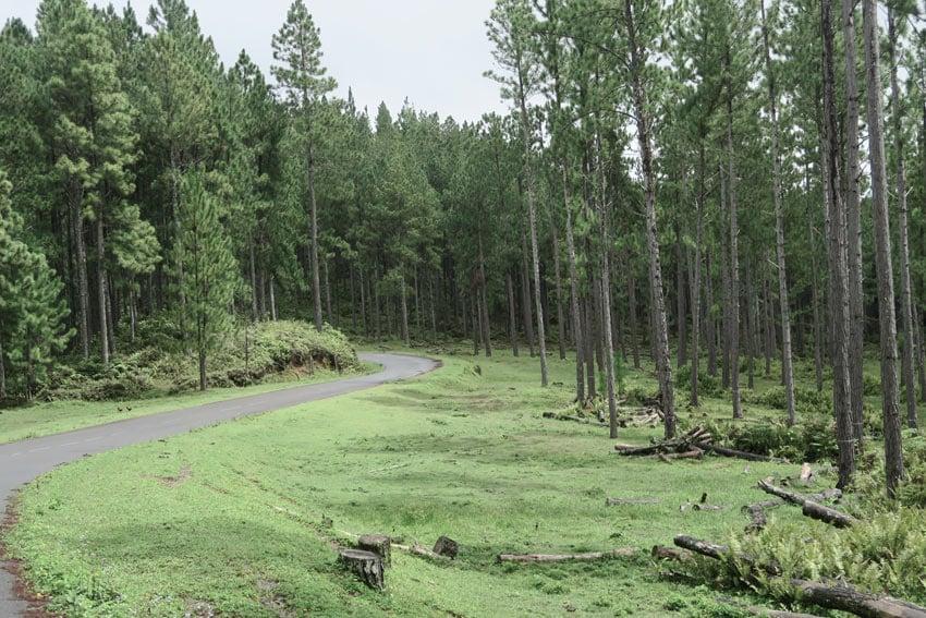 Giant pine trees Nuku Hiva French Polynesia