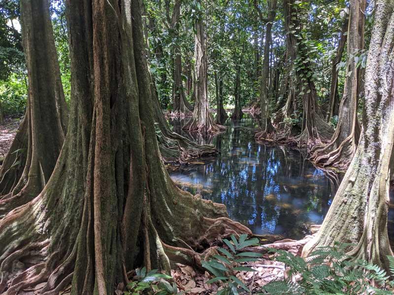 Harrison Smith Botanical Gardens Tahiti French Polynesia - mape chestnut tree