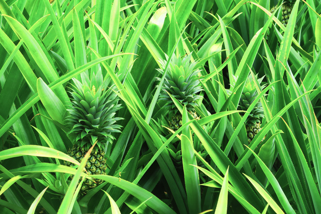 Pineapple Route - Moorea French Polynesia - Closeup of Pineapples