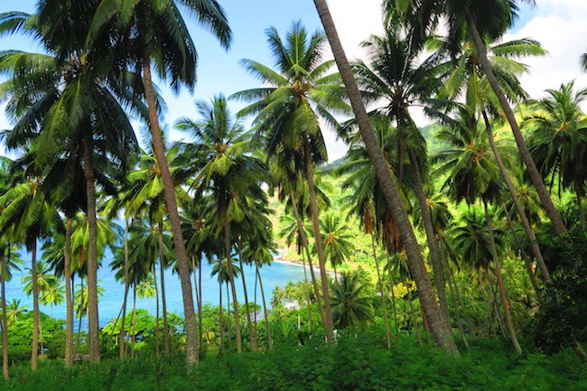 palm trees Hanapaaoa hiva oa