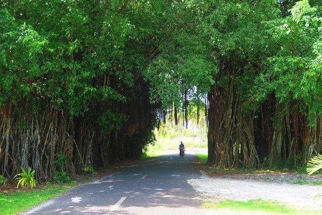 drive through banyan tree roadtrip aitutaki