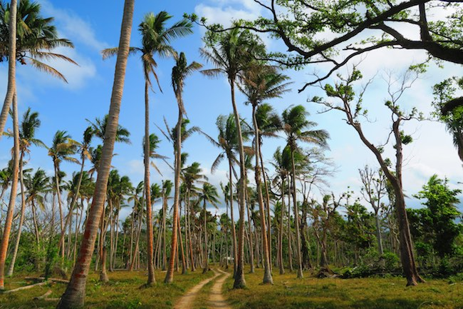 Coconut Plantations Efate Island Roadtrip Vanuatu